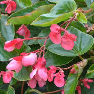 Begonia Dragon Wing Pink 4.5in Bench Pot