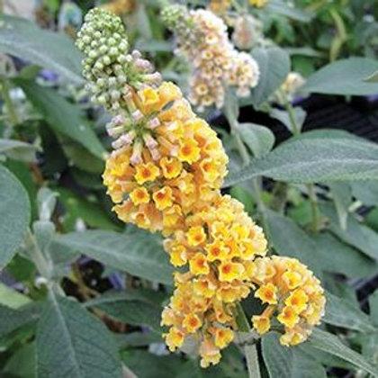BUDDLEIA GOLDEN GLOW  BUTTERFLY BUSH GALLON POT