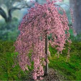 PINK SNOW SHOWERS WEEPING CHERRY 7G