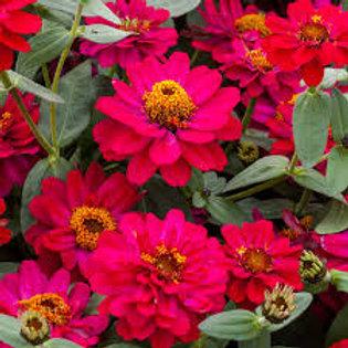 Zinnia Profusion Hot Cherry Flat 32 plants