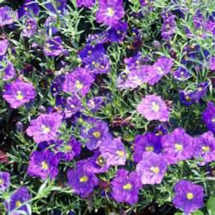 Niembergia Purple Robe Flat 48 plants