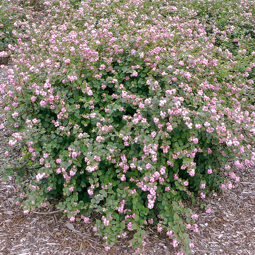 CORAL BERRY PROUD BERRY 1GAL BUSH