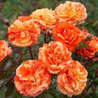 ORANGES N LEMONS ROSE
