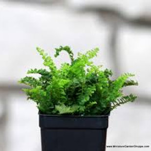 FAIRY GARDEN MINI BOSTON FERN SMALL