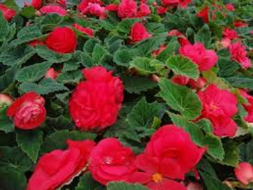Begonia Non Stop Deep Rose 4.5in Bench Pot