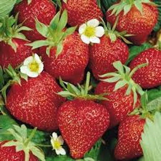 Strawberry Ozark Beauty 6 pack EVERBEARING