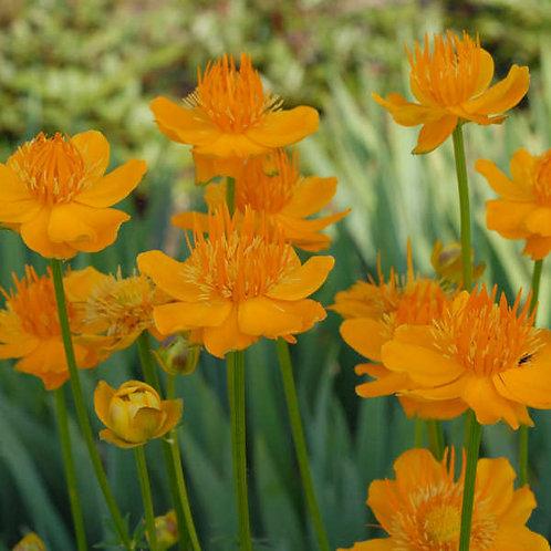 TROLLIUS GOLDEN QUEEN GLOBE FLOWER