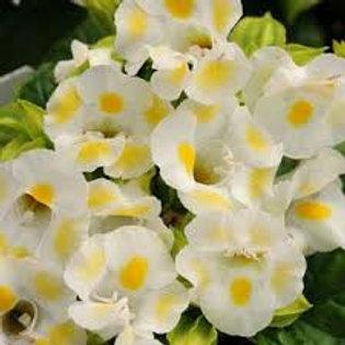 Torenia Lemon Drop Flat 32 plants