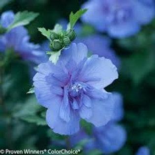 ROSE OF SHARON BLUE CHIFFON 1G BUSH