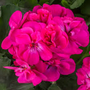 Geranium Calliope Dark Pink 4.5in Bench Pot