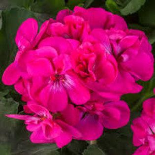 Geranium Calliope Dark Pink 4.5inch Bench Pot