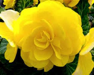 begonia go go yellow.jpg