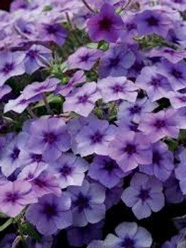 PHLOX BLUEBERRY  4.5INCH BENCH POT