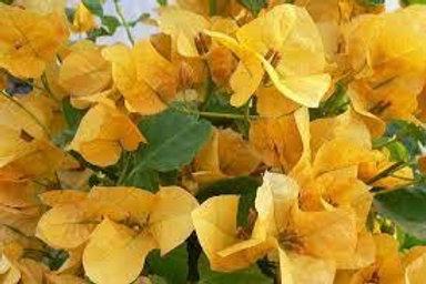 BOUGAINVILLA CALIFORNIA GOLD