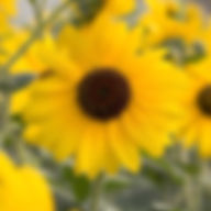 helianthus sunflower sunfinity.jpg