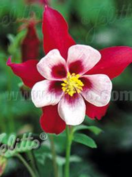 AQUILEGIA SWAN RED/WHITE