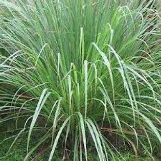 ANNUAL GRASS CYMBOPOGON LEMON