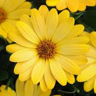 Osteospermum Daisy Yellow 4.5in Bench Pot