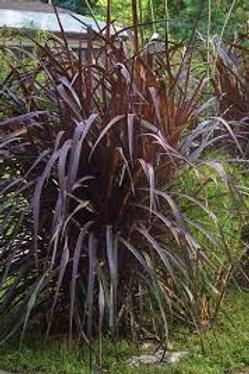 ANNUAL GRASS VERTIGO 6.5INCH POT
