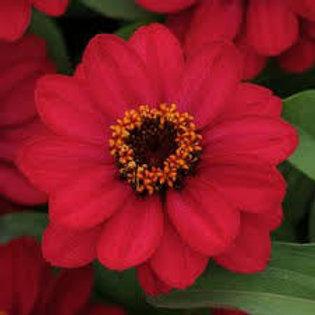 Zinnia Zahara Red  Flat 32 plants