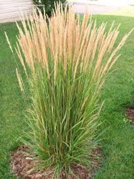 PERENNIAL GRASS CALAMA KARL FORESTOR 1G