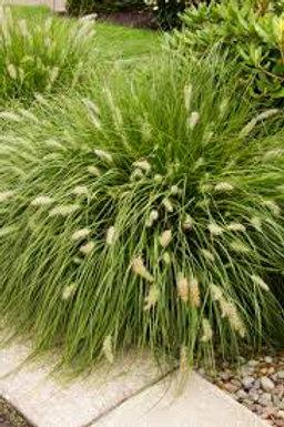 PERENNIAL GRASS PENNISETUM HAMELIN-fountain grass GALLON POT