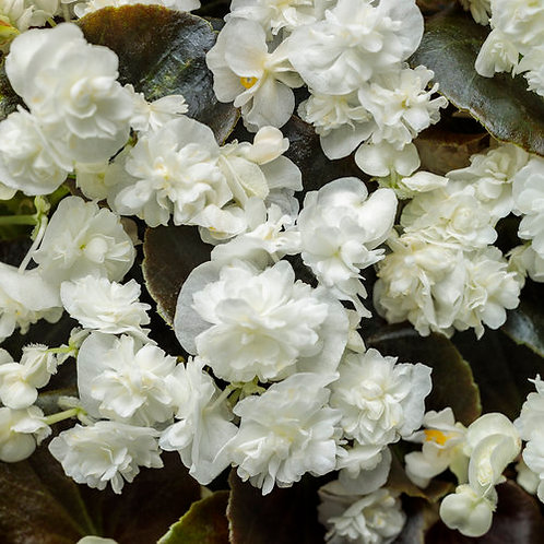 BEGONIA DOUBLE UP WHITE HANGING BASKET