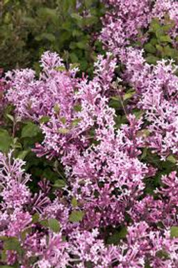 Lilac Bloomerang 1g
