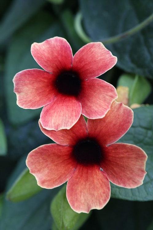 THUNBERGIA TOWER POWER RED TRELLISED 12INCH POT BLACK EYED SUSAN VINE