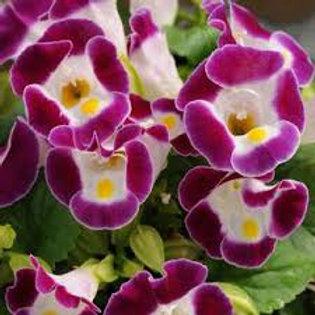 Torenia Rose Flat 32 plants