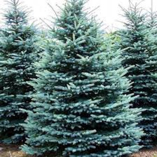 COLORADO BLUE SPRUCE 5G