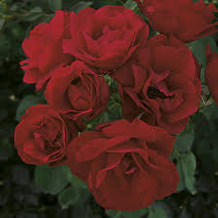 HOPE FOR HUMANITY ROSE