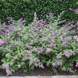 BUDDLEIA LO AND BEHOLD BLUE CHIP 1G BUTTERFLY BUSH