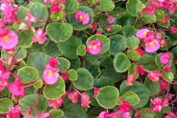Begonia Eureka Green Leaf Mix Flat 32 plants