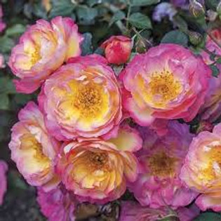 RAINBOW HAPPY TRAILS ROSE