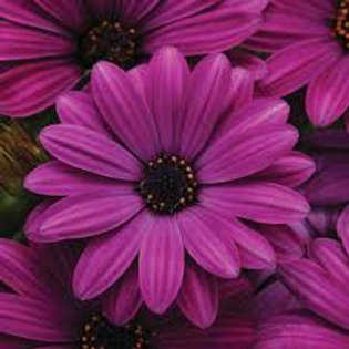 Osteospermum Daisy Purple 4.5in Bench Pot