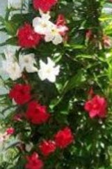 Mandevilla Red/White Mixed 10in pot TRELLISED