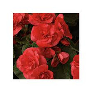 Rieger Begonia Valentine  5in pot