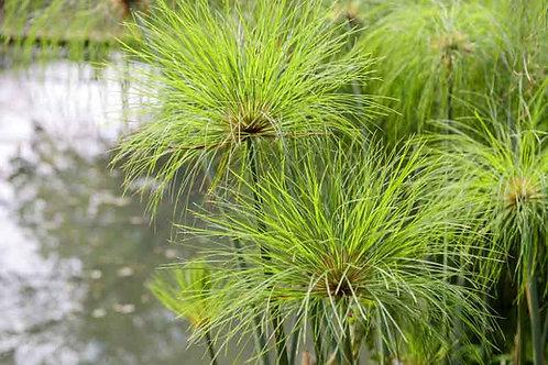 ANNUAL GRASS CYPRESS CLEOPATRA 6.5INCH POT