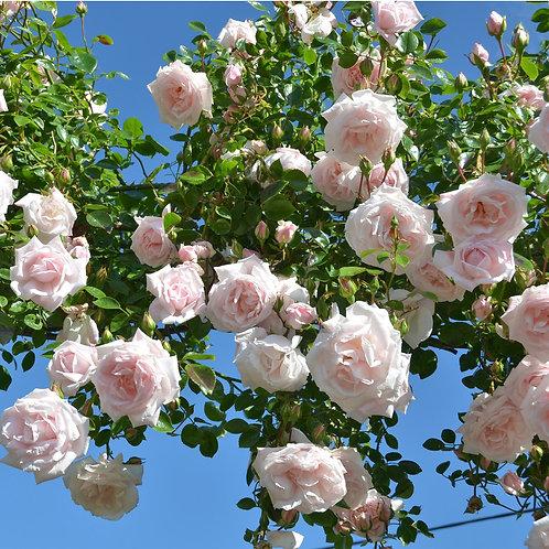 CLIMBING NEW DAWN ROSE