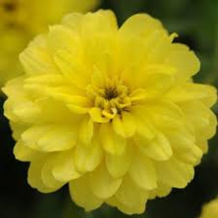 Zinnia Zahara Double Yellow  Flat 32 plants