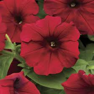 PETUNIA EASY WAVE RED VELOUR