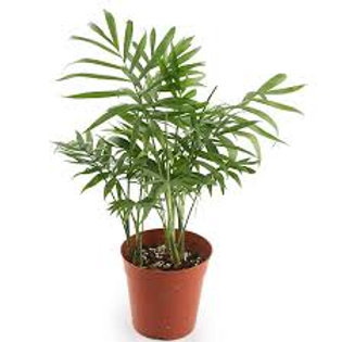 NEANTHE BELLA (PARLOR) PALM 6 INCH POT