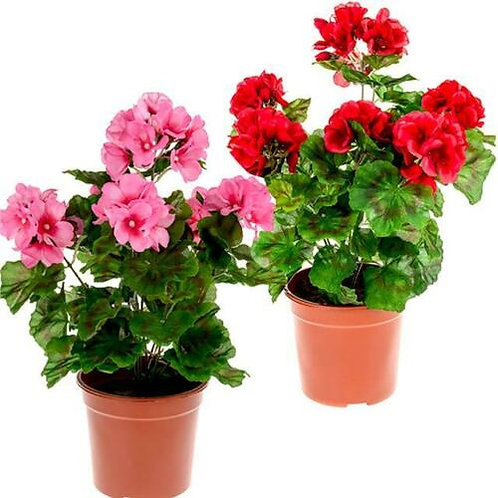 """Woodmore PTO FUNDRAISER 4 1/2"""" Potted GERANIUMS"""