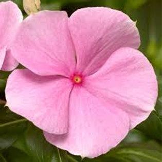 Vinca Cora Pink Flat 32 plants