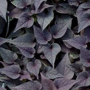 IPOMEA SWEET POTATO BLACK HEART 4.5IN BENCH POT
