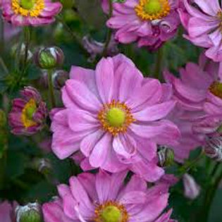 ANEMONE CURTAIN CALL PINK-wind flower
