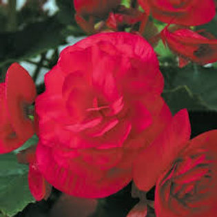 Rieger Begonia Solenia Cherry 5in pot