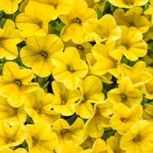 PETUNIA SUPERBELL YELLOW