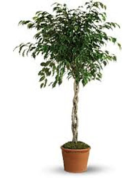 Ficus Braided Tree 3 gal